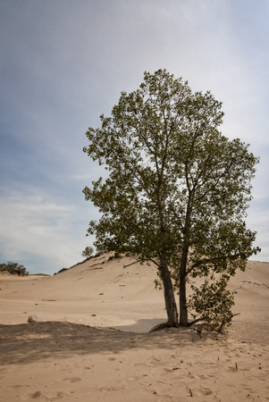 warren: A lone tree in the sand at Warren Sand Dunes in western Michigan. Stock Photo