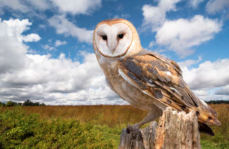 A barn owl perched on a dead tree stump in a meadow.  photo