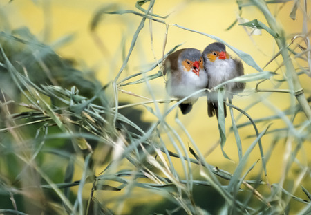 snuggling: A pair of colorful love birds snuggling on a tree branch.