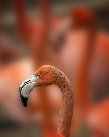 flamenco ave: Un elegante Flamingo aves de pie en un reba�o.