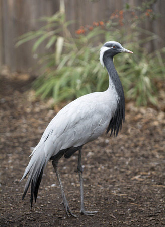 smallest: The Demoiselle Crane is native to India and Northern Africa. It has a height of about 35 inches making it the smallest of the crane species.