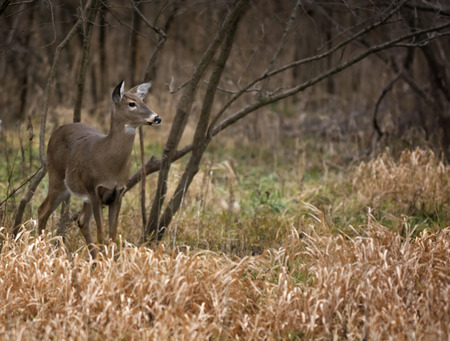 white tailed deer: A beautiful white tailed deer doe standing alert in the woods. Stock Photo