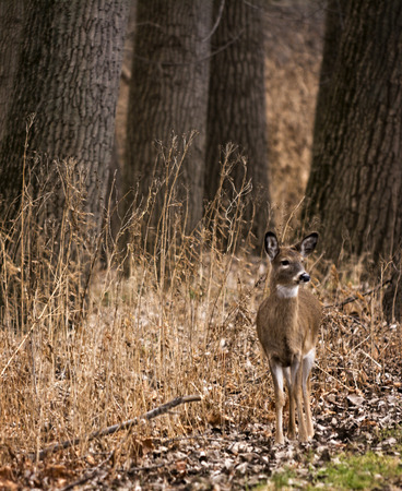 white tailed: A beautiful white tailed deer doe standing alert in the woods. Stock Photo