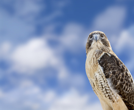 red tailed hawk: Close up of a Red Tailed Hawk with a beautiful blue, cloudy sky background