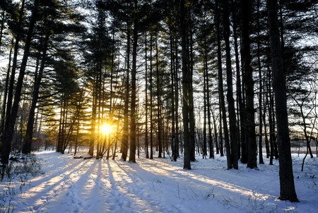 winter sunrise: A snowy winter sunrise scene in a pine forest.