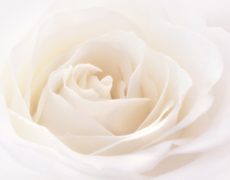 slight: Macro photo of a blooming soft white rose with a slight pink tint.