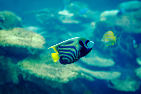 angelfish: A colorful Emperor Angelfish tropical fish.