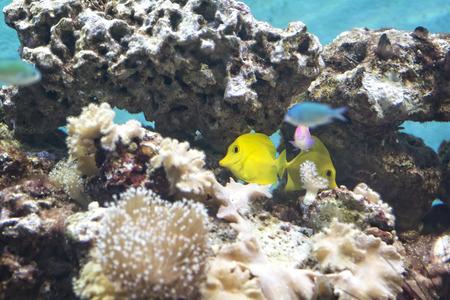 tang: A colorful Yellow Tang tropical fish.