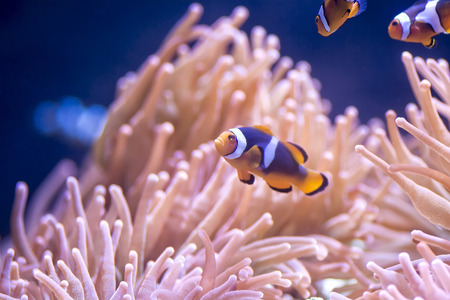 symbiotic: Colorful Clown fish swimming by anemone at a coral reef.