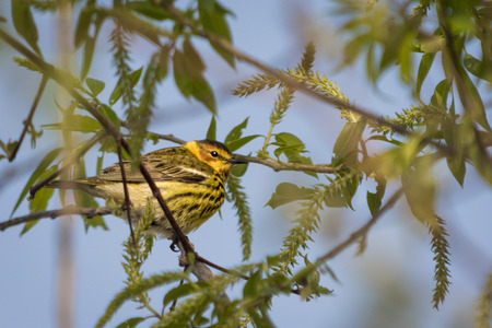 southwestern ontario: The colorful Cape May Warbler breeds from southwestern Northwest Territories Manitoba Ontario and Quebec south to North Dakota Michigan northern New York Maine and Nova Scotia. Spends winters in southern Florida and the West Indies.