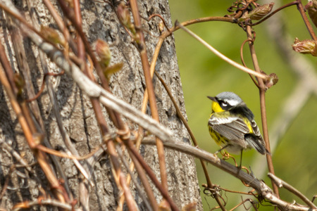 familiar: The Magnolia Warbler is a colorful and familiar warbler of the North American  forests.