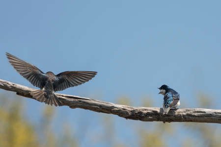 familiar: Handsome aerialists with deep-blue iridescent backs and clean white fronts, Tree Swallows are a familiar sight in summer fields and wetlands across northern North America. Stock Photo