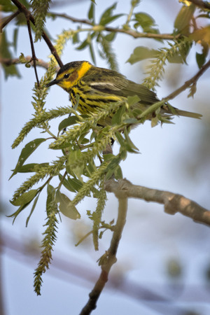 southwestern ontario: The colorful Cape May Warbler breeds from southwestern Northwest Territories, Manitoba, Ontario, and Quebec south to North Dakota, Michigan, northern New York, Maine, and Nova Scotia. Spends winters in southern and the West Indies.