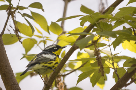 warbler: A colorful male Magnolia Warbler bird seen at Magee Marsh in Northwest Ohio during spring. Stock Photo