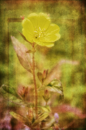 evening primrose: Photo of a evening primrose, a delicate yellow flower with artistic texturing applied to the background.
