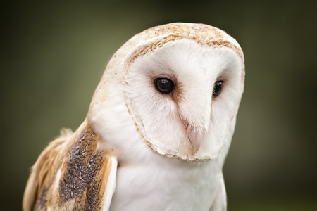 buoyant: A Barn Owl  Barn Owls are silent predators of the night world. Lanky, with a whitish face, chest, and belly, and buffy upperparts, this owl roosts in hidden, quiet places during the day. By night, they hunt on buoyant wingbeats in open fields and meadows.