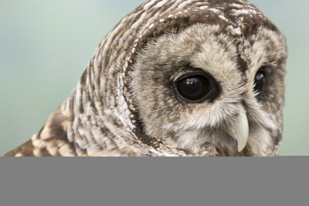 barred: Close-up of a Barred Owl. The Barred Owl is primarily a bird of eastern and northern U.S. forests