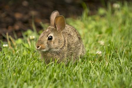 munching: A cute rabbit munching on some fresh green grass. Stock Photo