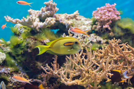 surgeon fish: A colorful tropical fish swimming around a coral reef.  A bright yellow Orangepsot Surgeon fish i n the center.