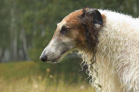 immobile: Rusia wolfhound sobre fondo verde oscuro, nublado