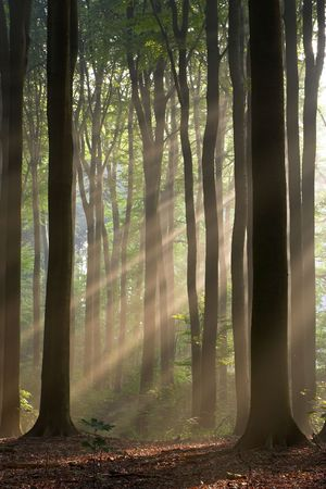 Misty forest photographed in the morning early autumn. Sun rays cross the picture.