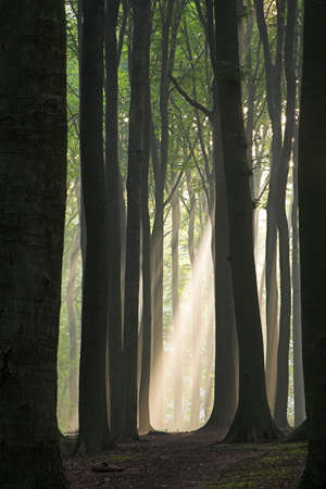 Sun beam in a mist visible through the tunnel formed by tree trunks; photographed early autumn morning.