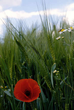 A red poppy flower on the background of green ears (wheat or rye) and a bee sitting on a camomile (daisy) flower photo