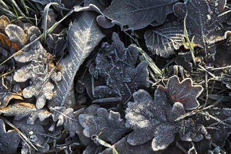 Frosty fallen leaves laying on the grass in a frosty winter morning photo
