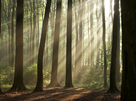 enlighten: Sun rays crossing a misty forest photographed in an early autumn morning. Horizontal format.