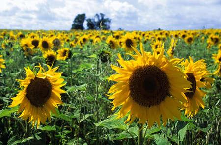 Slunečnicové pole Reklamní fotografie