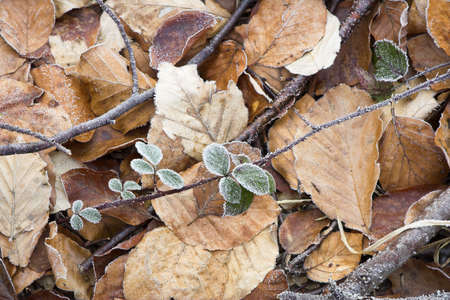farmed: Frost on a few green leaves; background is farmed by fallen yellow and brown leaves