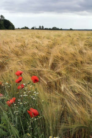 Poppies and diasies growing on the edge of the rye field photo