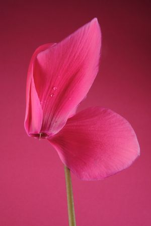 cyclamen: pink cyclamen on the pink background