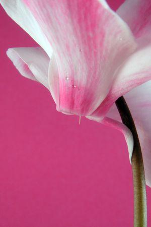 bicolor cyclamen