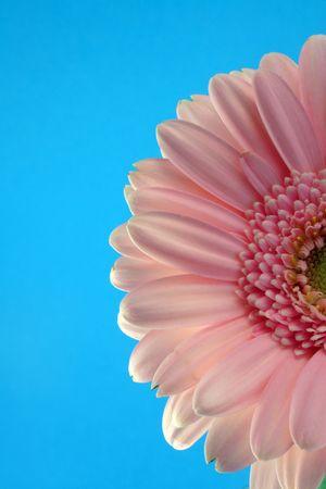 pink gerber on the blue background
