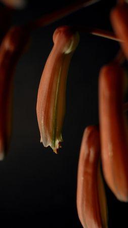 haworthias flowers