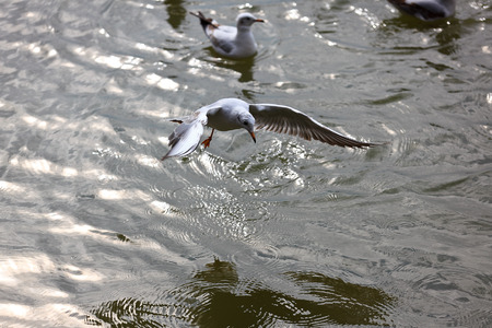 kunming: Red-billed Gull back to Kunming Stock Photo