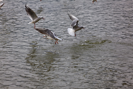 the seagulls: Seagulls on the lake water Stock Photo