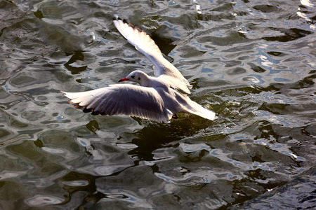 kunming: Kunming Red-billed Gull