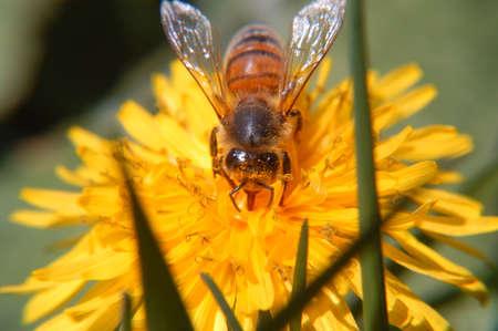 Honey Bee & Dandelion Macro photo