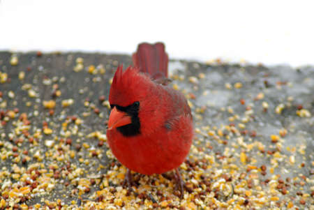 A beautiful bright red male cardinal stops in to eat bird seed during a freakish noreaster in April. Stock Photo