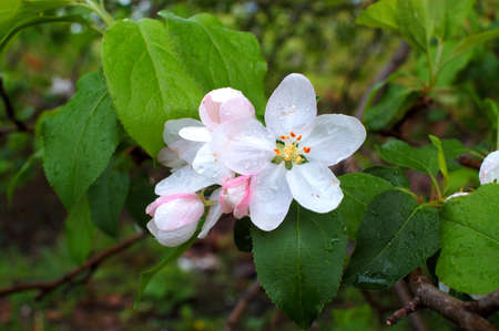 Apple blossom are dappled with water just after a brief rain shower