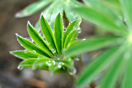 Tiny & delicate Lupin leaves in early spring after a brief rain shower.
