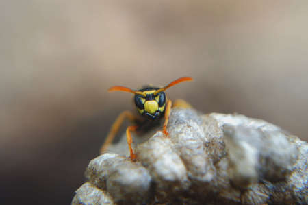 An angry hornet sits on top of its nest, daring the viewer to come closer. Macro. Stock Photo