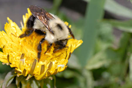 Macro of a young bumble bee searches for pollen on a dandelion. Stock Photo
