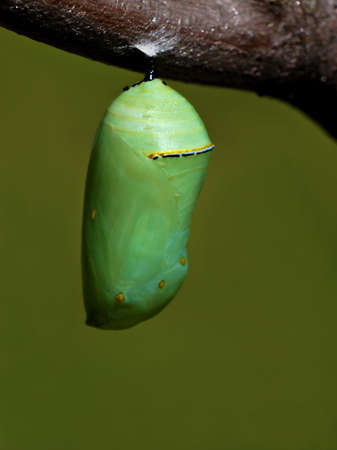 The beautiful jade green monarch butterfly chrysalis hanging from a tree branch. Stock Photo