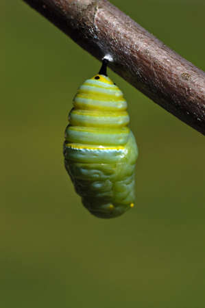 settles: A monarch butterfly caterpillar wiggles and settles into its crysals before the cacoon hardens. Stock Photo