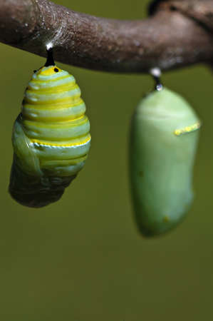 A monarch butterfly caterpillar wiggles and settles into its crysals before the cacoon hardens. Another crysalis, already hardened, can be seen hanging next to this new one.