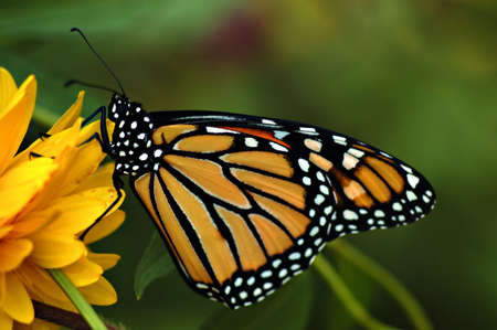 A beautiful adult monarch butterfly on a yellow flower-side view.