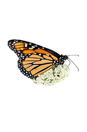 The beautiful Monarch butterfly. Here it is feeding on a Queen Annes Lace flower. Isolated on white.